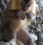 kapucijnaapje-stenen-werktuig